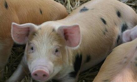 民间腌腊肉提振南方猪价 季节性反弹有望至明年1月