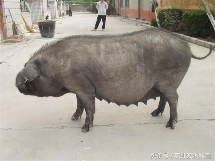国内饲养的优良猪品种展示