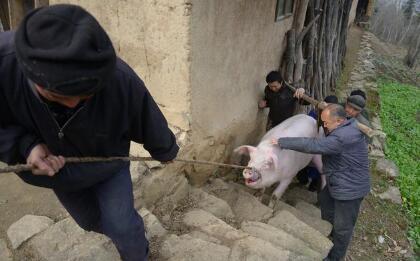 猪市整体向好局面打开 屠企还有机会轻易压价吗?