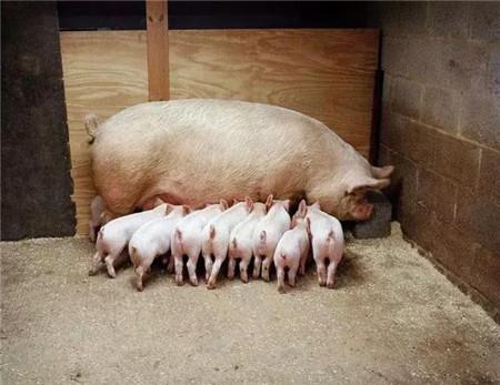 """60%的规模猪场都遭遇的""""母猪便秘""""难题,其实不难解决!"""