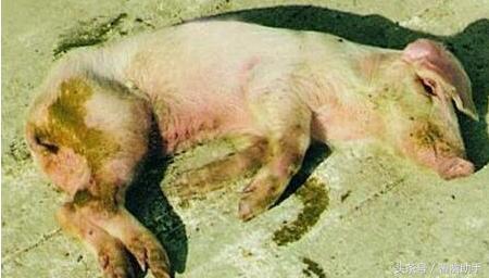 猪病毒性腹泻如何治疗?病毒性腹泻四步治疗方法
