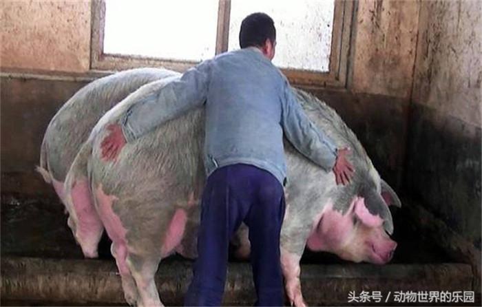 郑州现1500斤猪王,女人直接骑着它去买菜