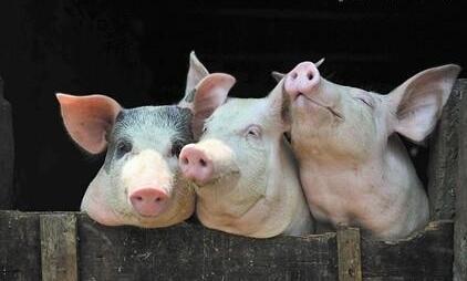 各地腌腊制作相继启动 南北猪价继续上升