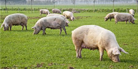 猪场禁养区大限将至 正规养猪补贴流程该熟悉了