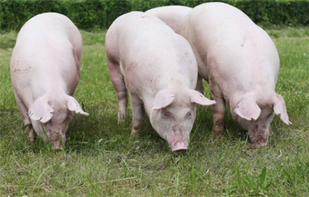 你了解后备母猪初情期延迟的原因及治疗措施吗?