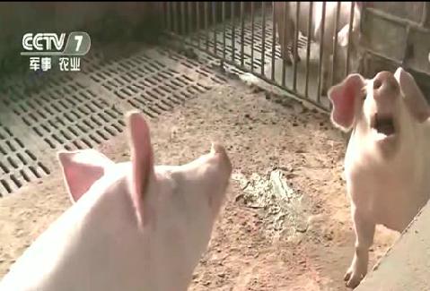 环保养猪到底是压力还是动力