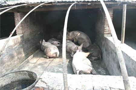 以前这样喂猪吃的是健康,现在这样养猪就是犯罪