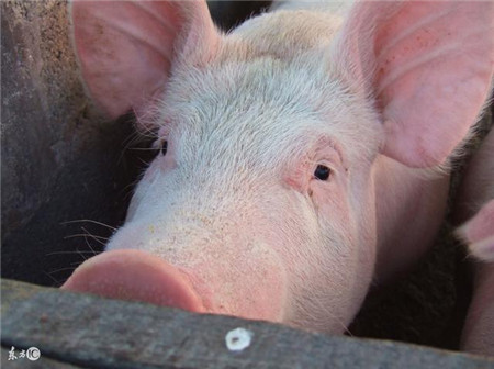 猪咳嗽不是一种病,切记:摸不准病,乱用药!