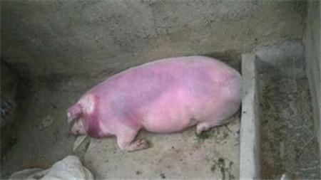 猪全身发紫、发红,究竟是什么病?