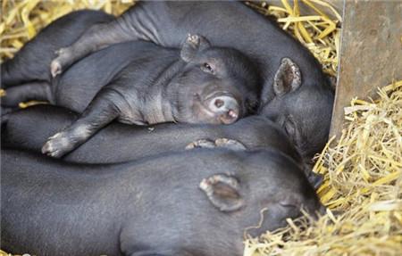 冬季降温开始,养猪人5个办法做好保温,猪病少长肉快