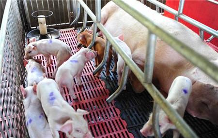 养猪中的三针保健,你知道吗?