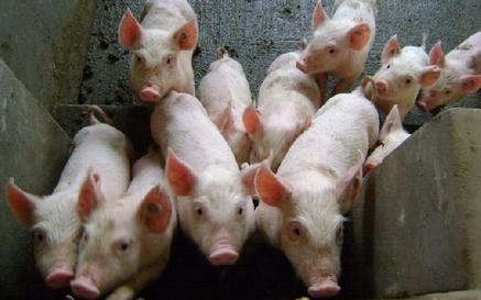 全国26个省份猪价都在上涨,独独新疆地区不涨反跌?