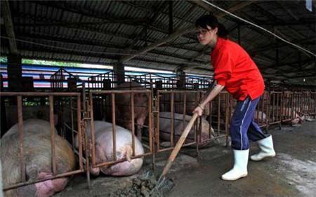养猪不迷茫,养猪人每周在猪场该做什么?