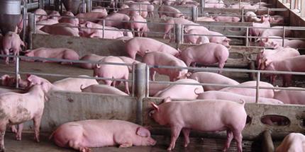 周末猪价狂飙创两月新高,四川地区已逼近8元