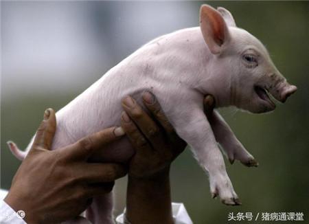 养猪:新老仔猪三针保健有什么区别?