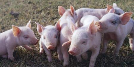 猪价旺季反弹!这四点信息透露猪价仍会涨涨涨!