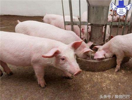 如何保证猪舍干燥,有两个原则四种方法需要牢记!