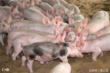 禁养进入倒计时,养猪人将何去何从?