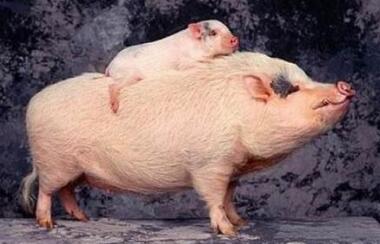 2017全球十大养猪企业和生猪屠企,哪些中国企业入围?