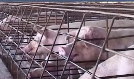 以后不能在自己家院子盖圈养猪了?家庭养猪出路在哪呢?