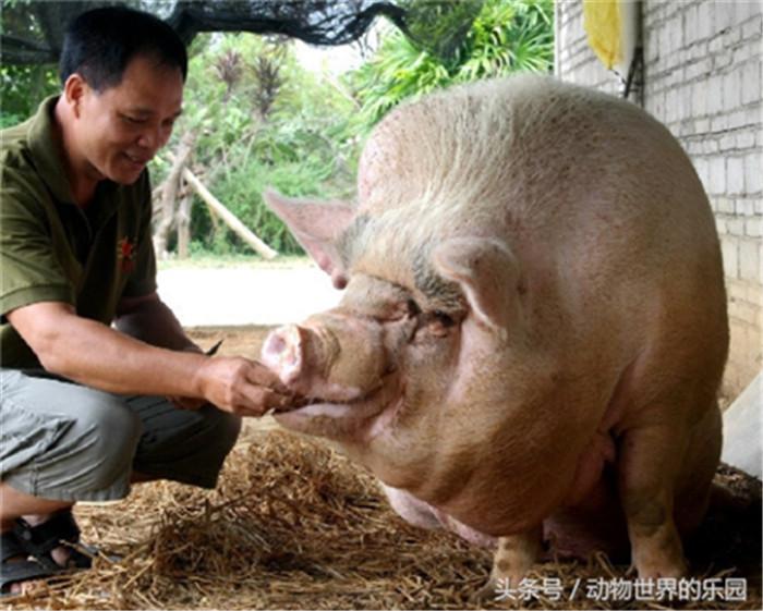 """广东茂名""""猪王"""",每天在村口蹲点等主人回家"""