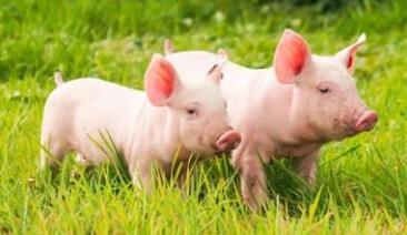 仔猪转到保育以后,仔猪之间打架会增加猪应激、引起皮肤破损、导致机体损伤、影响免疫平衡和生产性能。