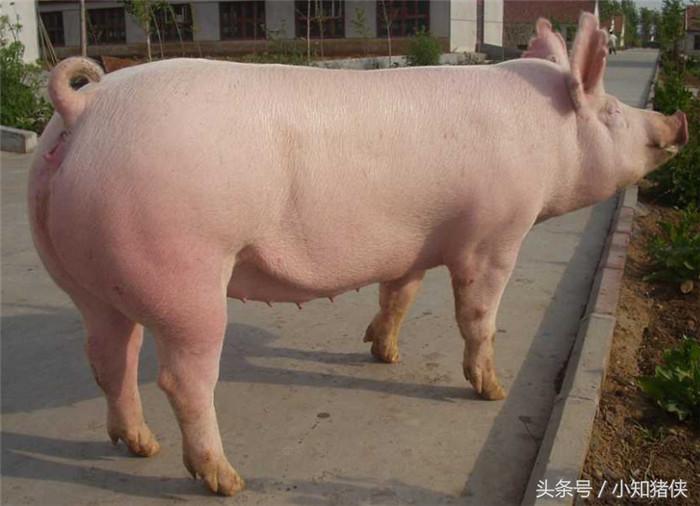 选育良种母猪有秘诀,做到这五点就这么简单!