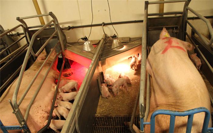 世界养猪强国丹麦的养猪场内景原来是这样,涨姿势了