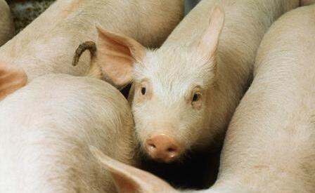 养猪:专家教你防控猪的气喘病!