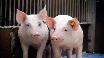 猪伪狂犬病实验室检测与控制净化常见的问题有这些