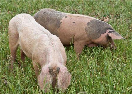 北方猪价出现回落 四川已涨至16元