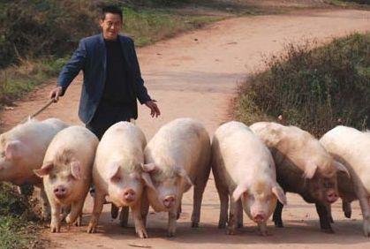 根据新大牧业商品猪部