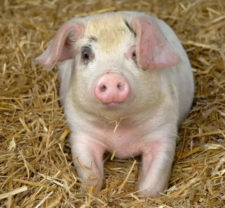 近期生猪价格行情大好,但仔猪价格持续下滑?
