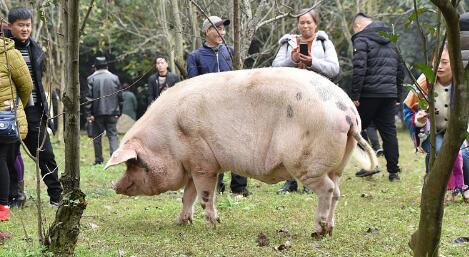 """汶川地震""""猪坚强""""已400斤 独享一室一厅套房"""