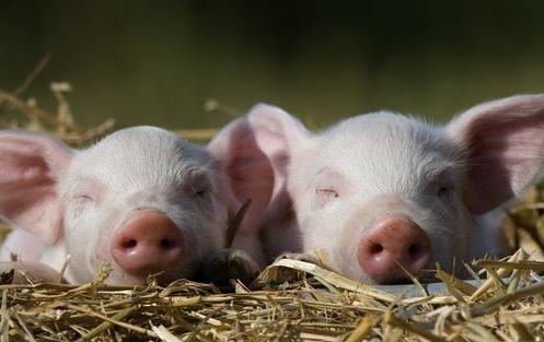 多数地区的猪价预测在7.5—8.0左右。除了要看到猪价的涨跌,其实养猪人还有很多东西是需要知道的。