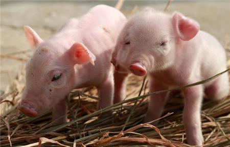 今日大雪,养猪人应注意啥?