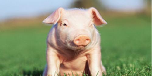 猪品种好、吃好、喝好、休息好,心情自然会好,心宽体胖,想不长快都难,当然在做好这些工作的同时还要做好一些基础疫苗,生物安全工作,
