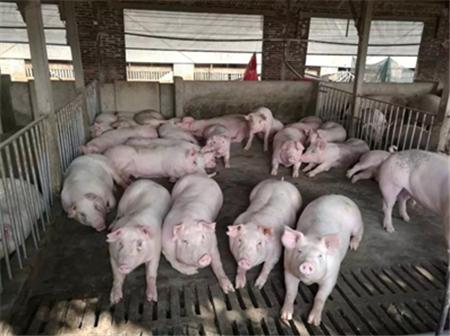 双胞胎:大猪饲养成本要降低,这些方法有讲究