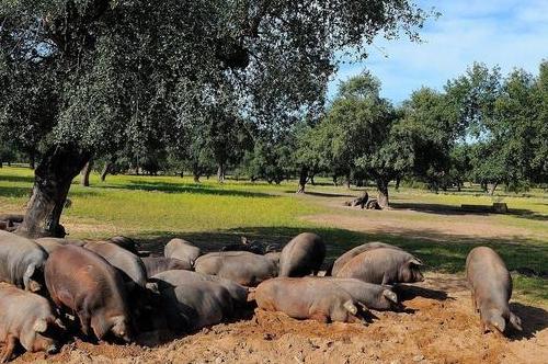 四川率先破8,建议养殖户合理安排生猪出栏节奏!
