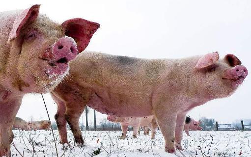 今日大雪,时刻注意行情外,养猪人还应注意这三点