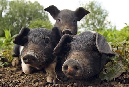 专家为中小养殖户支招:傍大户、抱团都有前途