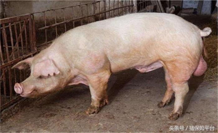 3、仔猪脱缰  冬季天气寒冷干燥,仔猪易受到应激,很大几率变成僵猪。对于僵猪,可切半斤韭菜与饲料混喂,每天2~3次,连续喂一星期,僵猪会变得毛色光亮,皮肤红润,开始脱缰。