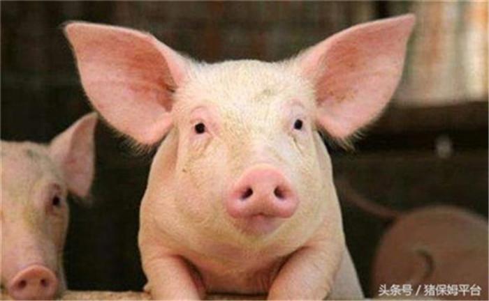 2、预防贫血  韭菜中含有丰富的铁元素,仔猪开食前喂服10毫升韭菜汁,每日一次,可以防治仔猪贫血,对促进仔猪生长发育也很有帮助。