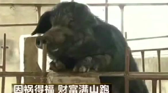 猪居然能自己养活自己,更不用喂饲料,你绝对没有见过!