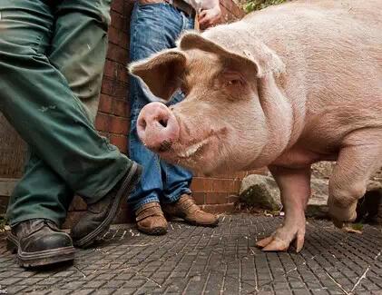 猪场的精细化管理,应该这样做