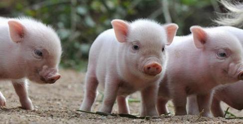 2017年12月10日(20至30公斤)仔猪价格行情走势