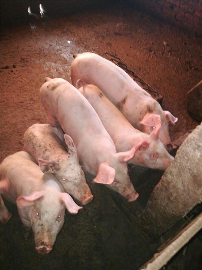 养猪要想更好发展必须做到这3样
