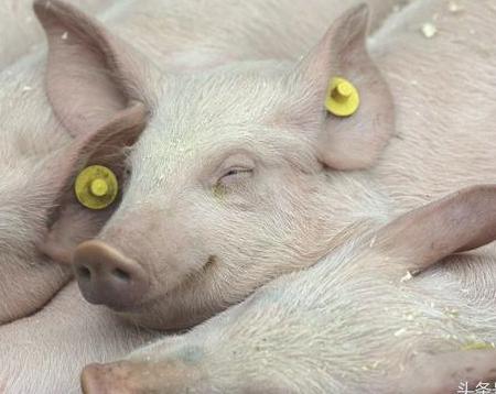 猪球虫病的主要症状、危害及治疗