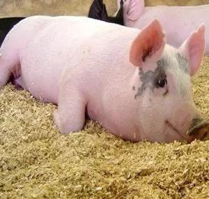 猪价平稳震荡 需避免集中出栏