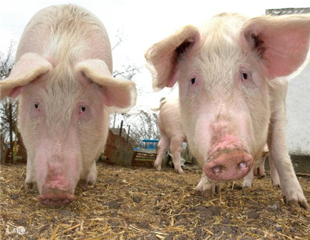 值得深思!中小型养猪场的建设问题出在哪?